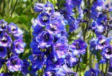cultiver le dephinium bleu