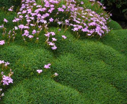 dianthus erinaceus mousse couvre sol