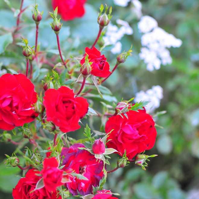 entretien des rosiers après la floraison