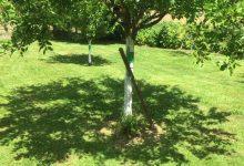 faut il couper les rejets des arbres fruitiers
