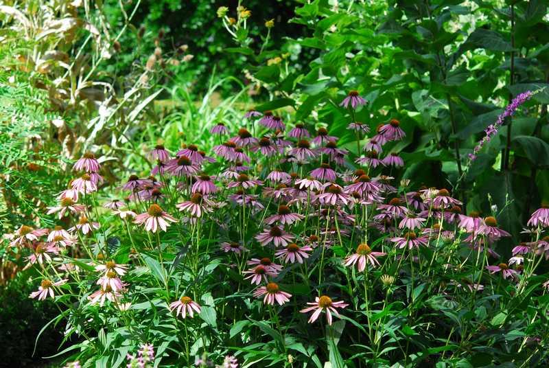 fleur echinacea