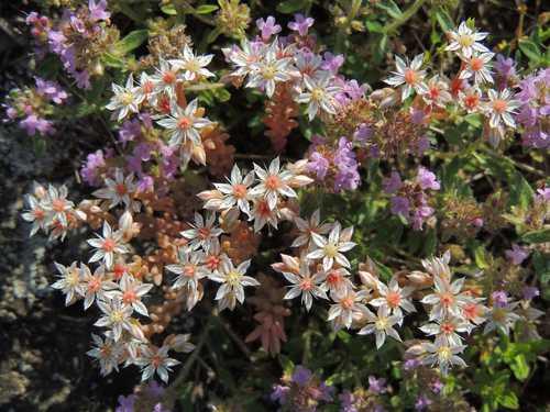 fleurs du sedum album