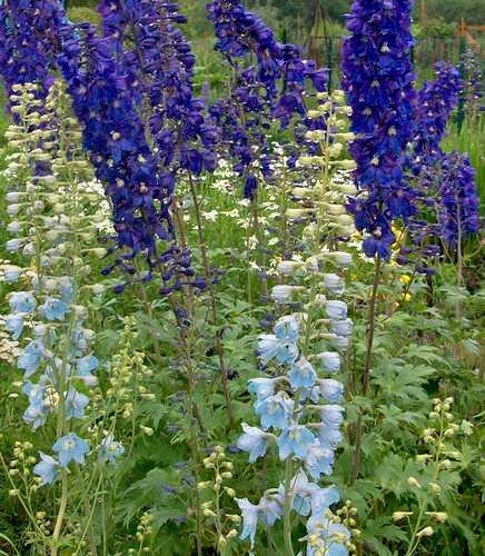 massif avec des delphiniums bleus