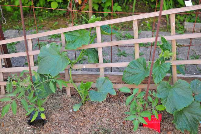 quand planter le concombre