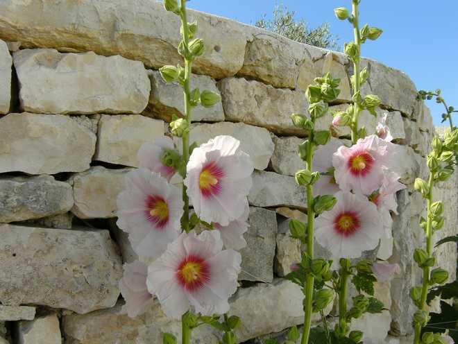 rose trémière plantation