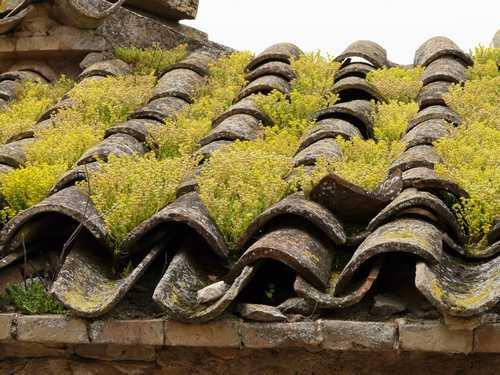 sedum acre mousse sur un toit