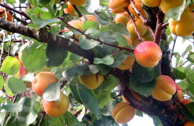 abricotier bergeron au jardin