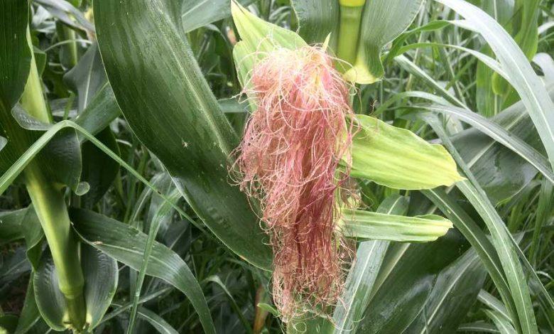 comment arroser le maïs