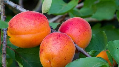 les variétés d'abricots