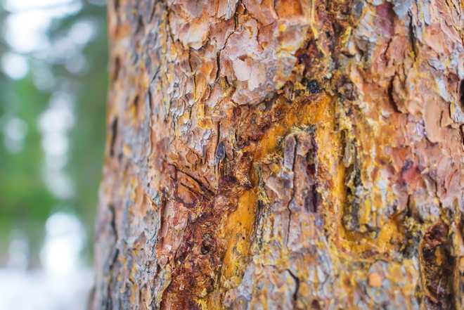 comment reconnaître un pin malade
