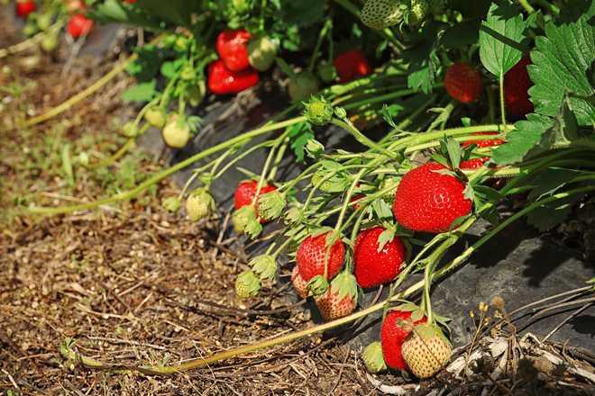 planter les fraisiers sur un film plastique