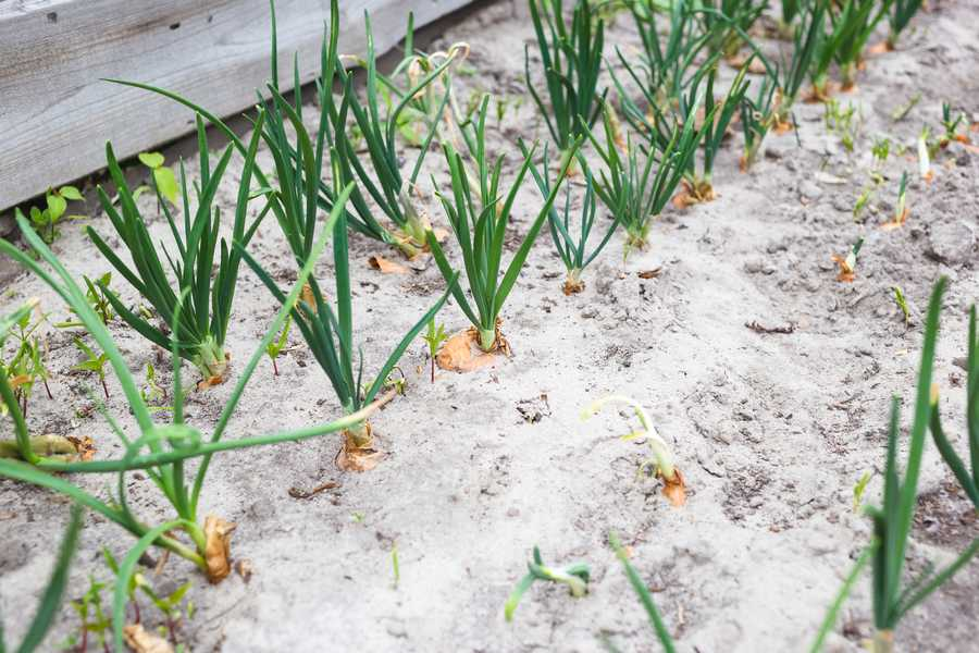 améliorer une terre sablonneuse