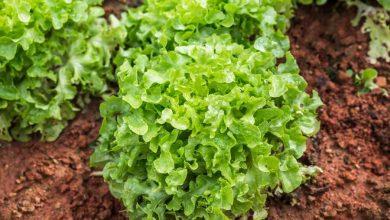 comment récolter des salades toute l'année