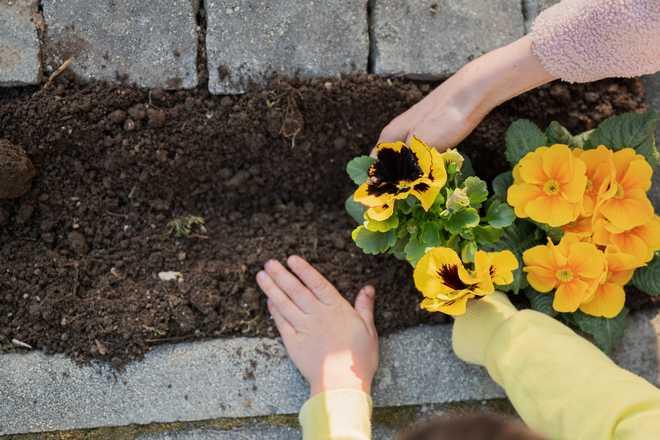 Quand planter les vivaces de printemps