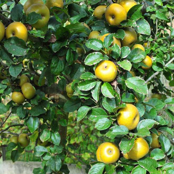 arbre fruitier dans la terre argileuse