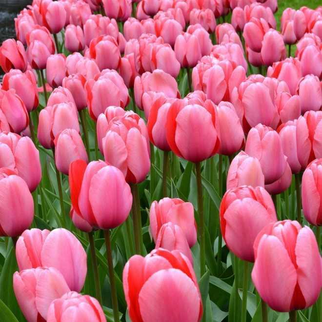 grande tulipe rose