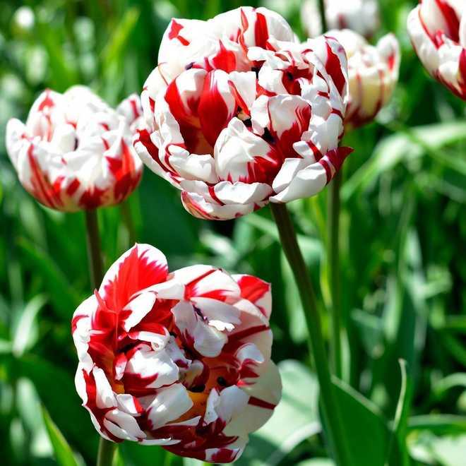 variété de tulipe à fleurs de pivoine